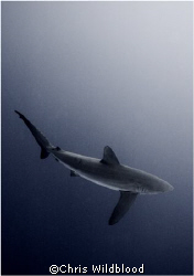 Silky Shark checking me out in the blue.  Cocos 2007. by Chris Wildblood 